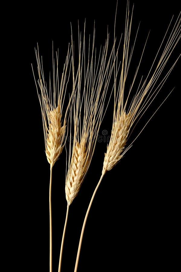 Trois oreilles de blé photos stock