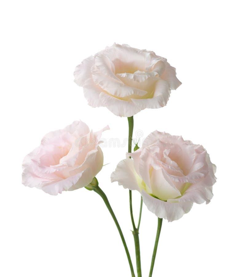 Trois pâles - fleurs roses photo libre de droits