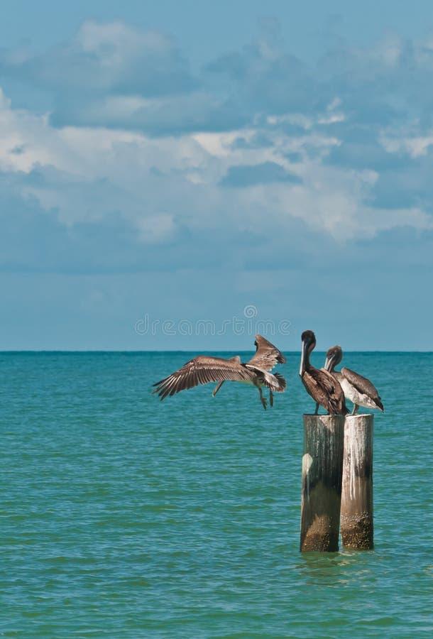 Trois pélicans bruns se tenant sur les empilages en bois ou débarquant dans l'eau tropicale image libre de droits