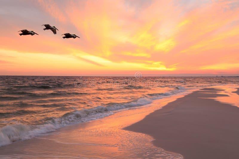 Trois pélicans de Brown volent près de la plage au coucher du soleil photographie stock libre de droits