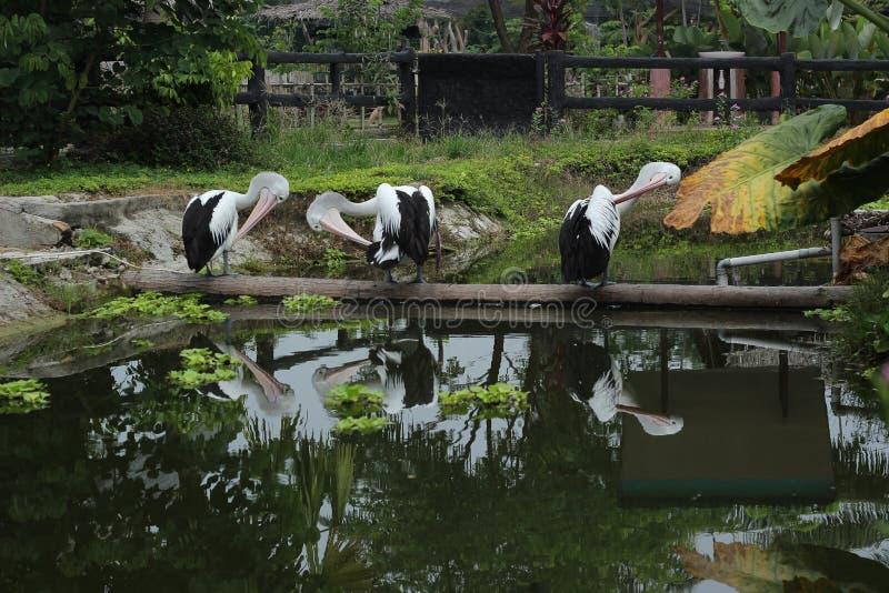 Trois pélicans sur heureux dans le petit lac image libre de droits