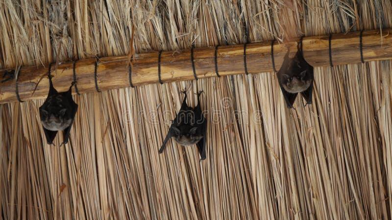 Trois petites battes brunes de fureur accrochant dans le palapa de toit d'herbe images stock