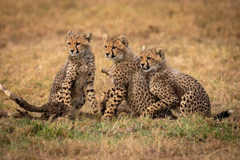 Trois petits animaux de guépard reposent sembler partis ensemble photographie stock libre de droits