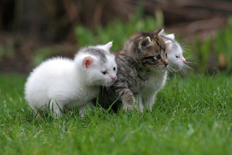Trois petits chatons dans une ligne image stock