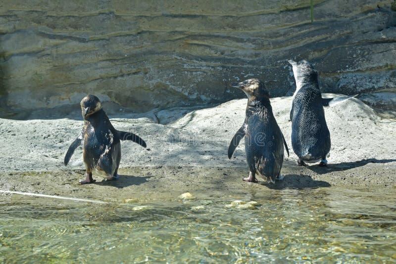Trois petits pingouins sont juste sortis de l'eau se séchant probablement  photo libre de droits