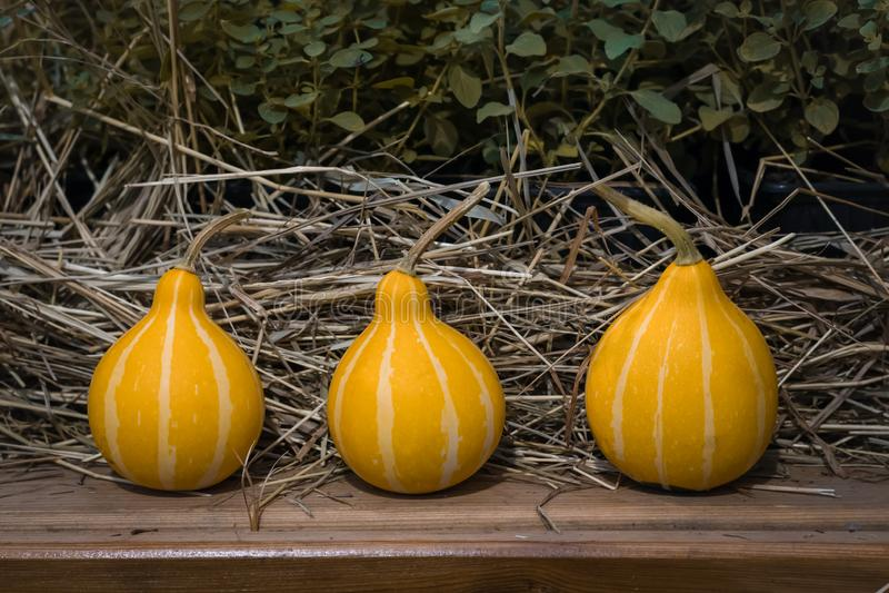 Trois petits potirons sur la paille, modifiée la tonalité, concept de postcars de thanksgiving avec un copyspace image libre de droits