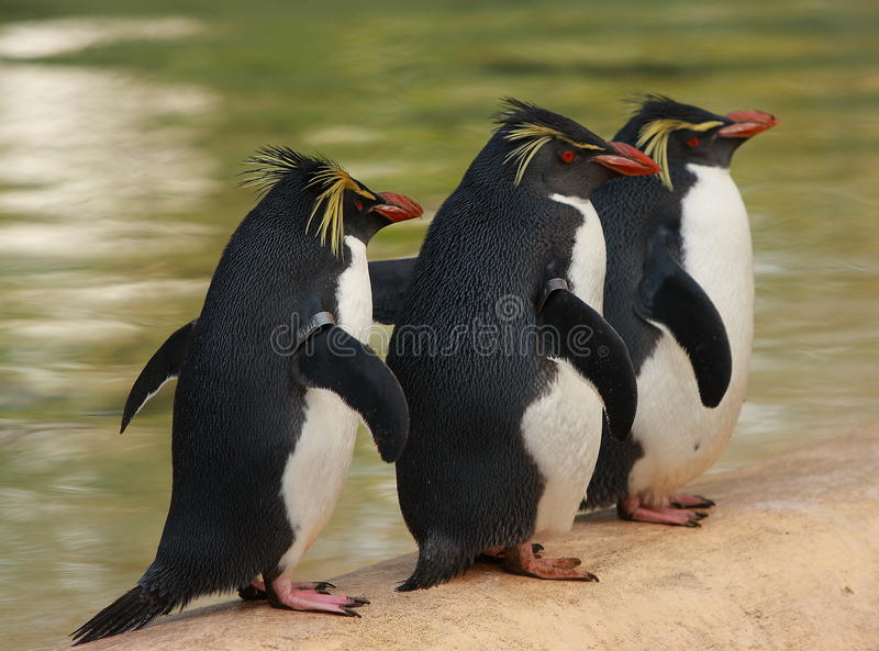 Trois pingouins de macaronis images stock