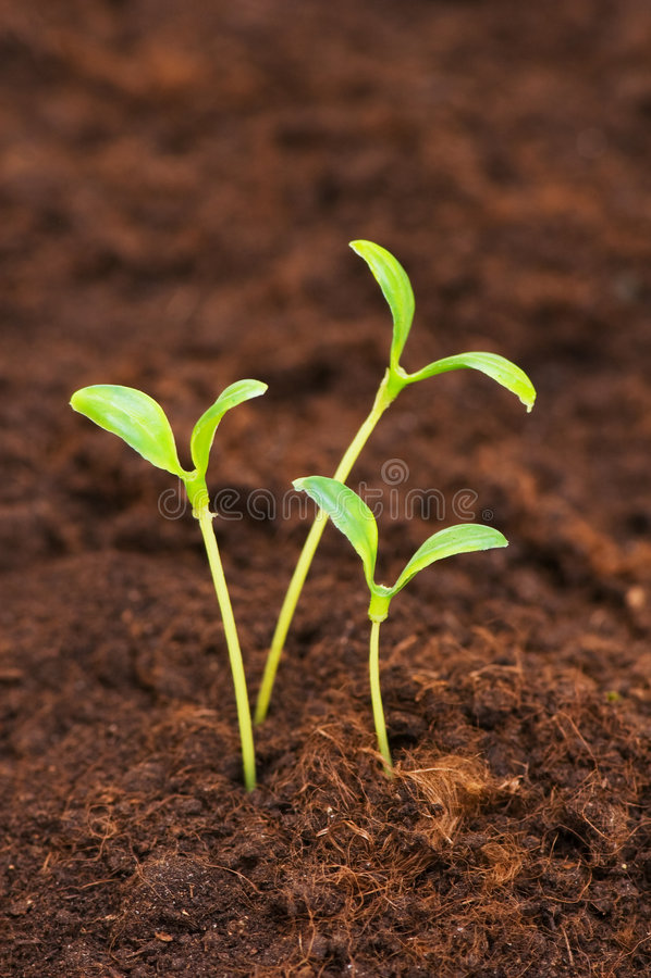 Trois plantes vertes s'élevant hors de la saleté images stock