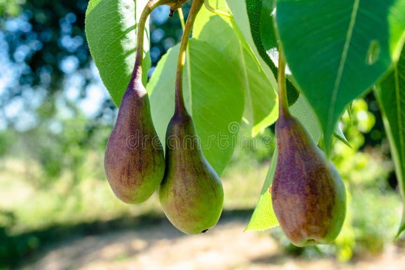 Trois poires vertes verdoyantes s'élevant dans le jardin photos stock