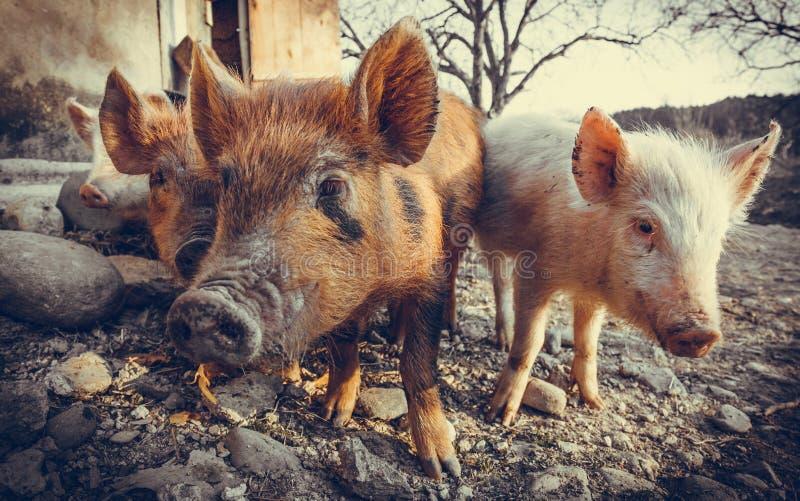 Trois porcs dans la basse-cour photos stock