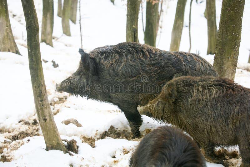 Trois porcs sauvages dans la forêt photo libre de droits