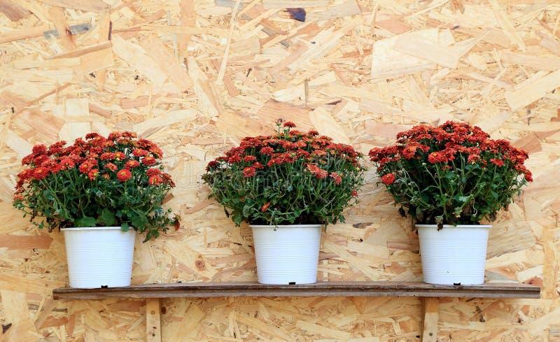 Trois pots de chrysanthème rouge fleurit la ligne sur le fond en bois images stock