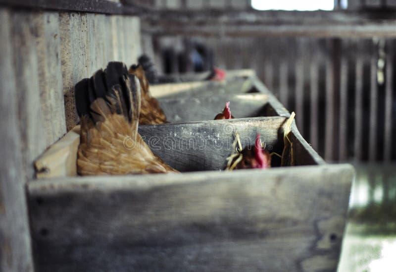 Trois poules dans un perchoir image libre de droits