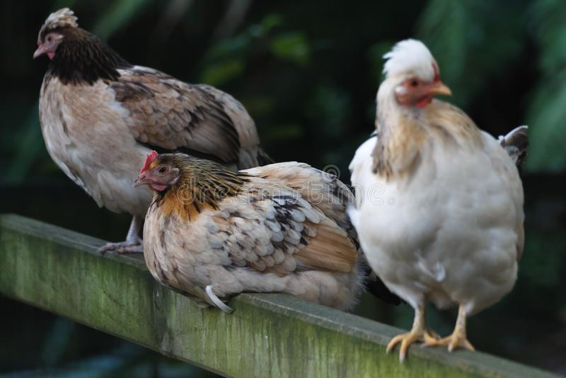 Trois poules variées image stock