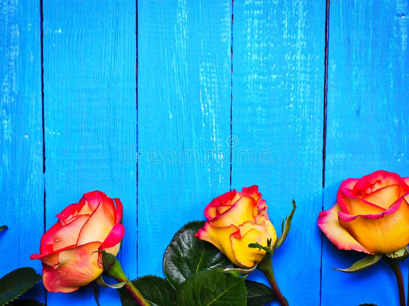 Trois roses jaune-rouges sur un fond en bois bleu images libres de droits