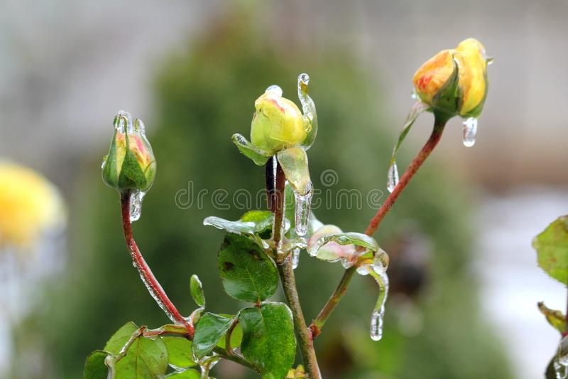Trois roses jaunes photo stock