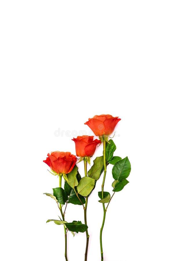 Trois roses rouges sur un fond blanc Roses d'isolement de tiges et de feuilles vertes Carte de voeux pendant des vacances, annive photo libre de droits