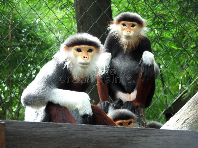 Trois singes photos stock