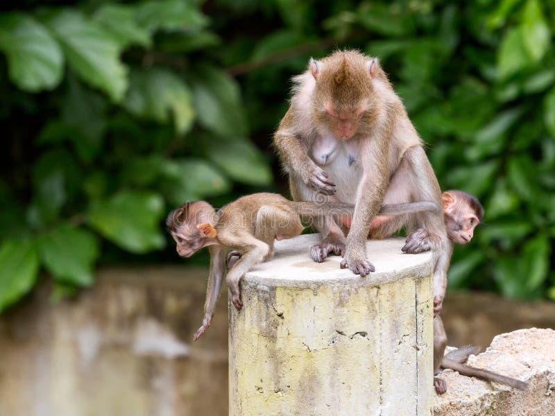Trois singes par un mère et enfant deux image stock