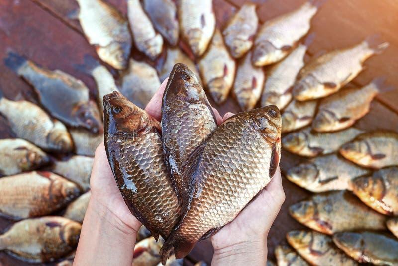 Trois sont les poissons pêchés frais de rivière dans des mains Poissons pêchés de carpe sur le bois Poisson d'eau douce contagieu images stock