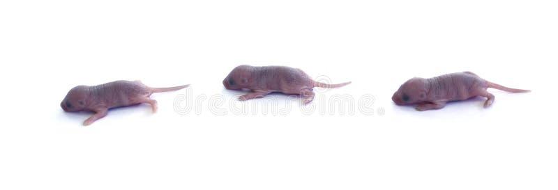 Trois souris de chéri dans la ligne photo stock