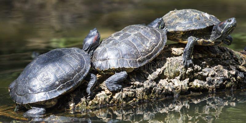 Trois tortues photos libres de droits