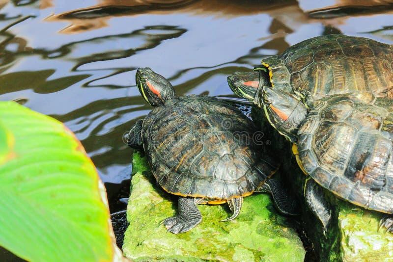 Trois tortues de l'eau se reposent sur le rivage de l'étang photographie stock