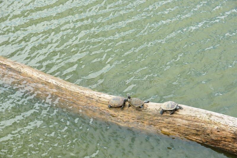 Trois tortues exposant au soleil sur un arbre tombé dans un petit secteur de marais en Thaïlande photo stock