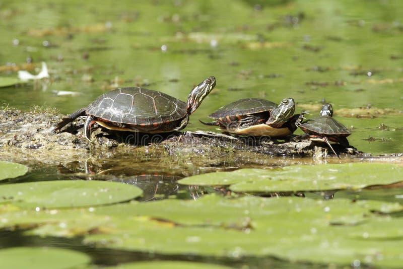 Trois tortues peintes sur un logarithme naturel image libre de droits