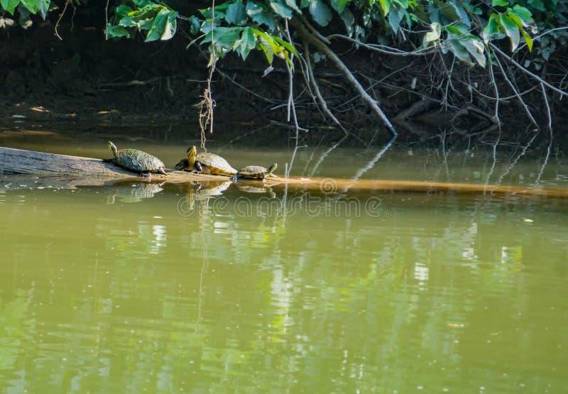 Trois tortues se reposant sur un rondin photo libre de droits