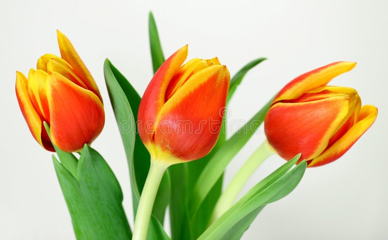 Trois tulipes photographie stock libre de droits