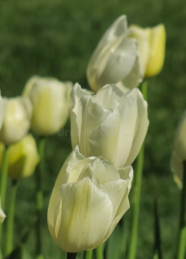 Trois tulipes blanches avec Hue jaune photographie stock libre de droits