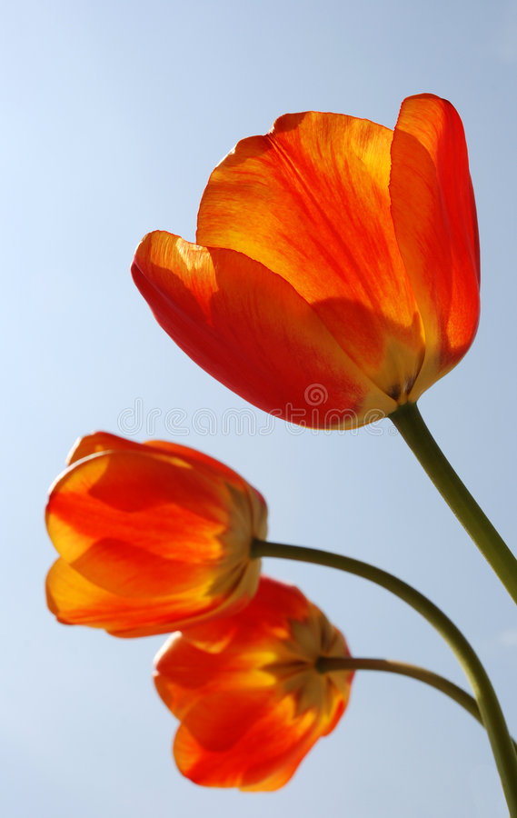 Trois tulipes oranges photo stock