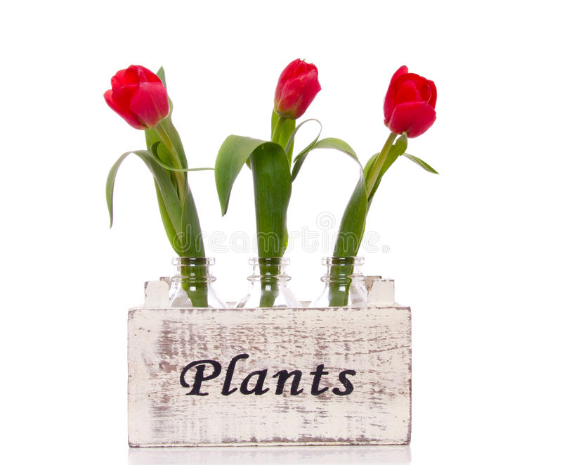 Trois tulipes rouges photographie stock libre de droits