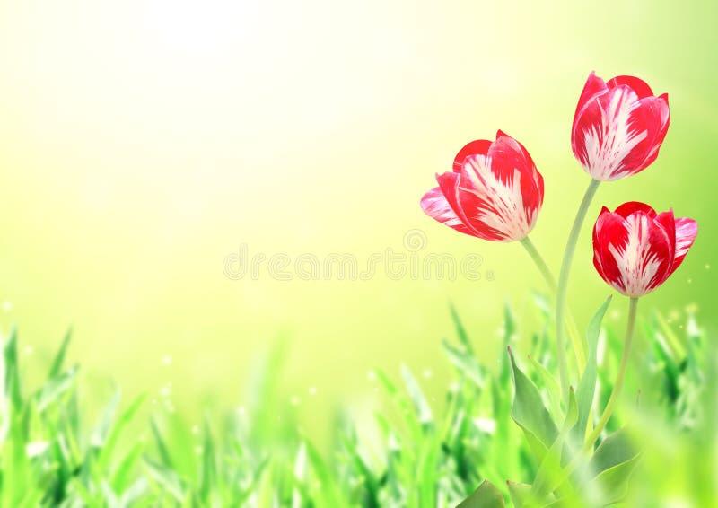 Trois tulipes sur le fond ensoleillé de ressort photo stock