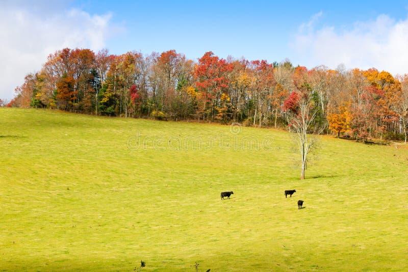 Vaches noires sur un pré image libre de droits