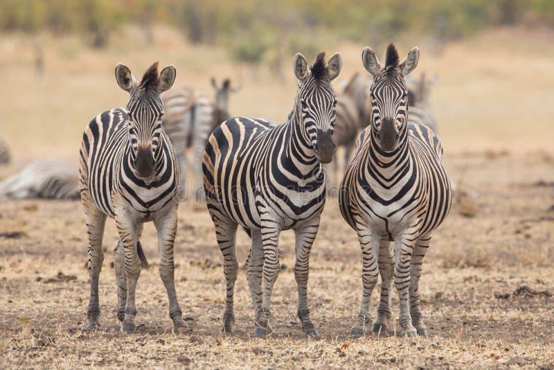 Trois zèbres, parc de Kruger, Afrique du Sud photo stock