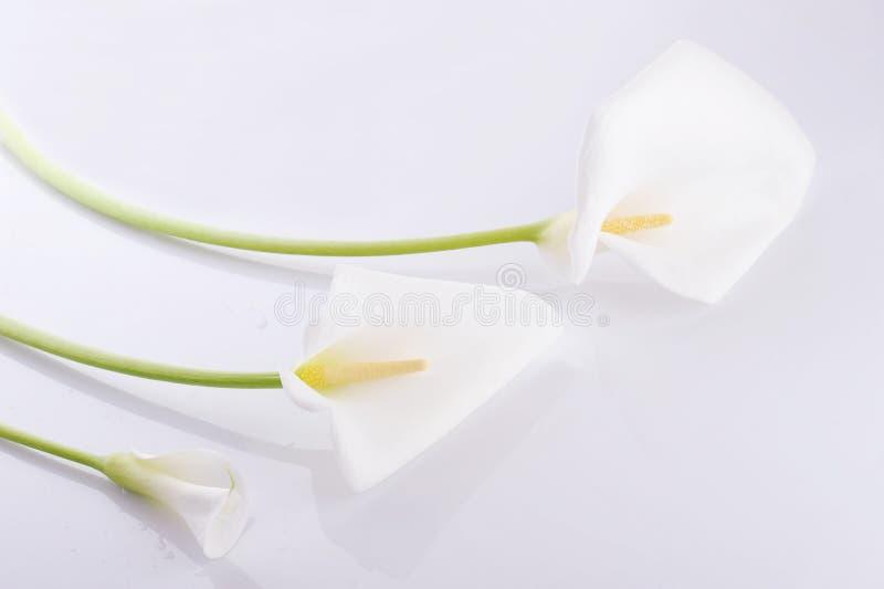 Trois zantedeschias blancs image stock