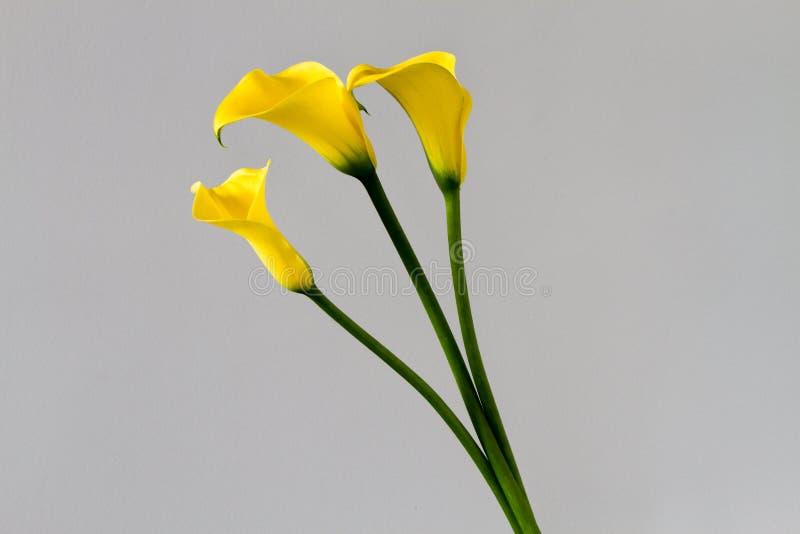 Trois zantedeschias jaunes photographie stock libre de droits