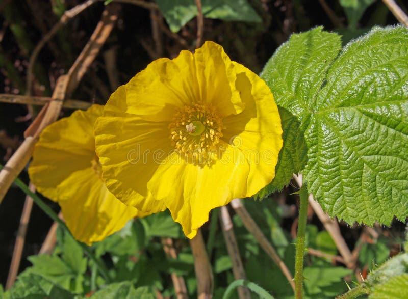 ?troit de deux pavots de gallois jaunes lumineux avec la lumi?re du soleil verte environnante de feuilles au printemps photo stock