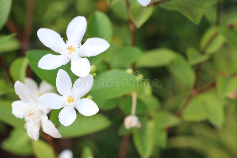 ?troitement, beau fond vert naturel de feuille de fleurs blanches photographie stock