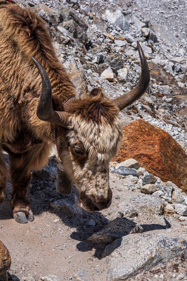?troitement, vue de c?t? de t?te domestique de grunniens de Bos de yaks image stock