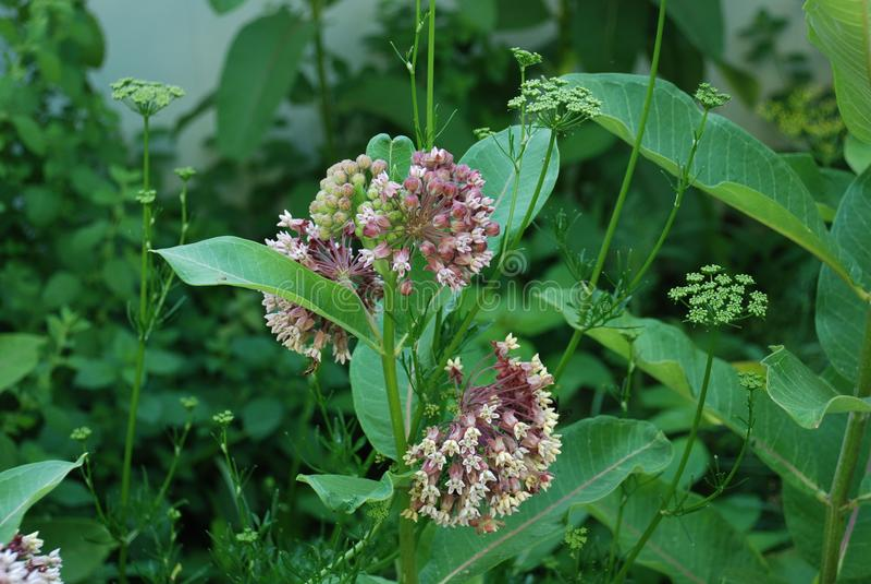 Trojeść kwiatu zbliżenie r blisko dillweed fotografia royalty free