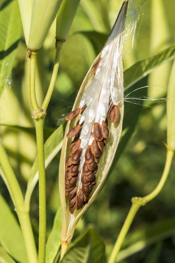 Trojeści roślina, Asclepias 'Tuberosa' ziarno strąk zdjęcie stock