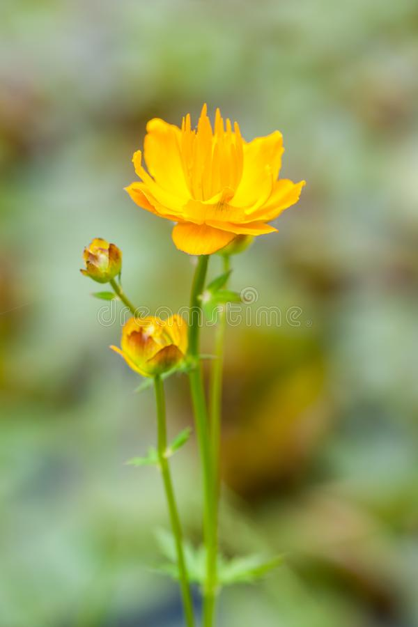 Troll Flower. A European troll flower is portrayed on a blurred meadow background royalty free stock photos