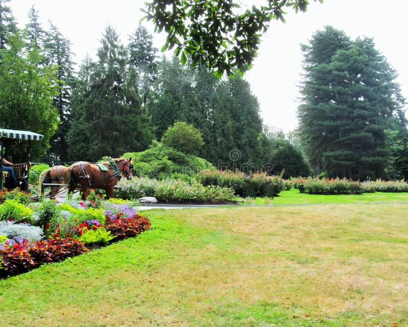 Trolley Horses In Vancouver Stanley Park Perennial Garden In August 2019. Trolley Horses In Vancouver Stanley Park Perennial Garden, British Columbia In August stock photography