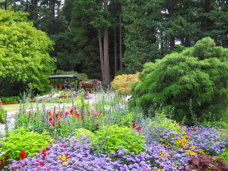 Trolley Horses In Vancouver Stanley Park Perennial Garden In August 2019. Trolley Horses In Vancouver Stanley Park Perennial Garden, British Columbia In August royalty free stock photos