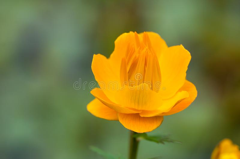 Trollius - Yellow Flower. A European troll flower is portrayed on a blurred meadow background royalty free stock images