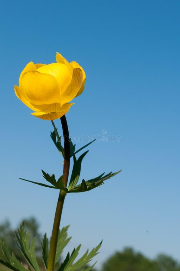 Trolliuseuropaeusglobeflower mot himlen arkivbilder