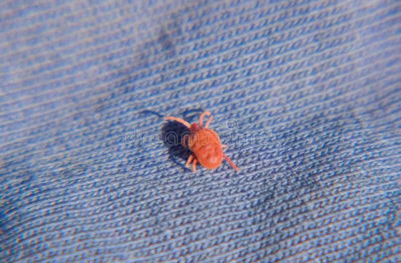 Конец вверх по лепте бархата макроса красным или Trombidiidae, красной лепте бархата стоковые изображения rf